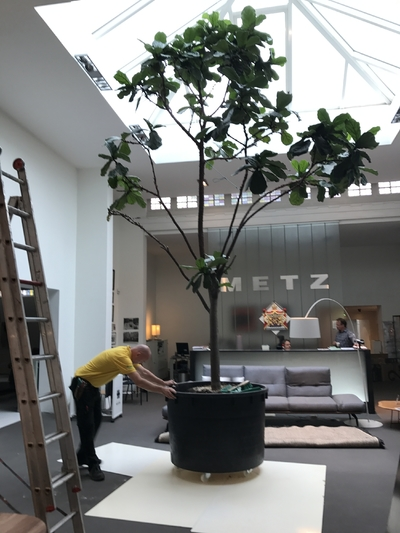Ficus lyrata over geplant