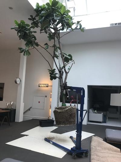 Ficus lyrata in kraan